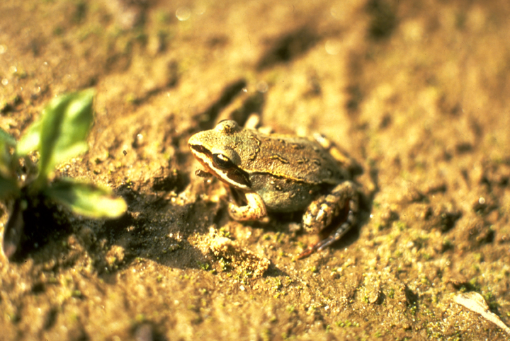 A tiny golden frog blends almost perfectly into the golden sand beneath his feet.